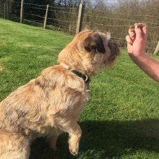 Border terrier anxious for a yummy treat